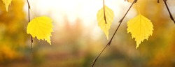 Banner. Autumn background with yellow birch leaves on a blurred background. The beauty of autumn