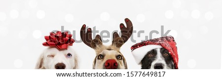 banner close-up hide three dogs pet celebrating christmas wearing a reindeer antlers diadem, santa hat and red ribbon. Isolated on white or gray background.