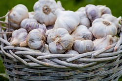 Banner. Food garlic bulb in a wicker basket, large . Background texture of the vegetable garlic plant. Summer or autumn crop, gather or harvest.