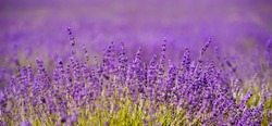 Banner. Lavender Field in the summer. Aromatherapy. Nature Cosmetics.