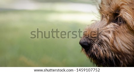 Banner of a puppy briard on the meadow #1459107752