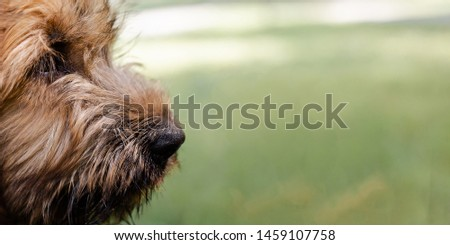 Banner of a puppy briard on the meadow #1459107758