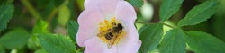 Banner of Bee on a flower of wild rose bee pollinating wild pink rose in bloom