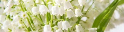 banner of Lily of the valley flowers. Natural background with blooming lilies of the valley lilies-of-the-valley.