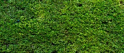 Banner picture of green leaves of plant wall of the house. greenery and background concept