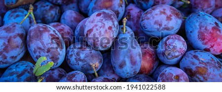 Banner. Ripe plums. Close up of fresh plums, top view. Macro photo food fruit plums. Texture background of fresh blue plum. Image fruit product. D'Agen French prune plum. Plums with a few leaves.