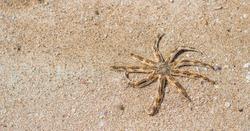 BANNER Sea aquatic unusual nine leg Starfish skeleton echinoderm Luidia arm taper at end bear fringe of white spine. Yellow colour dark orange stripes. Sand, tourism, oceanology marine biology concept