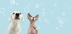 Banner two attentive pets dog and cat looking up. Isolated on blue backgoround with soap bubbles