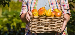 Banner. Wicker basket with pears in women's hands, gardener's hands holding a pear crop, close-up, sunlight. Autumn harvest, harvest or harvest.