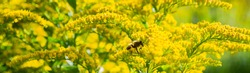 Banner with bee on bright yellow flowers of Goldenrod: the process of pollination. Selective focus. Copy space.