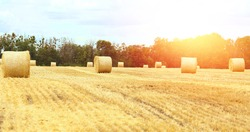 Banner with landscape of a mown wheat field at sunset with huge haystacks. Summer. Agriculture. Harvesting. Bakery production. Organic food and healthy lifestyle concept