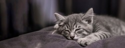 Banner with little gray kitten sleeping on a pillow. Little cat sleeps Soft focus