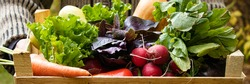 Banner with man holds vegetables in box on background of garden.Carrots, lettuce, basil, pumpkin, zucchini, eggplant, bell peppers and radishes in a wooden box. Farmer has collected vegetables.