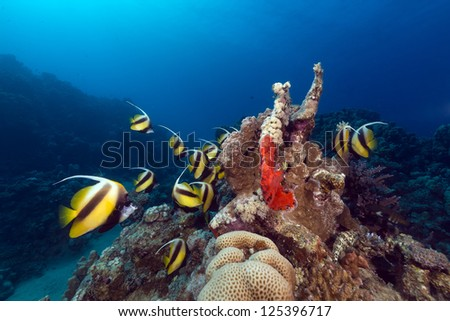 Bannerfish (heniochus intermedius) and tropical reef in the Red Sea