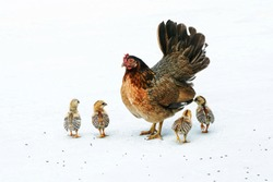 Bantam hen brings the chicks out for food on white background.