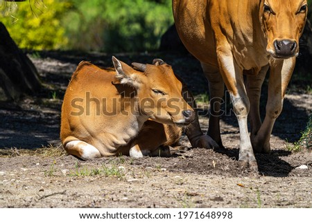 Banteng, Bos javanicus or Red Bull It is a type of wild cattle But there are key characteristics that are different from cattle and bison: a white band bottom in both males and females. Stockfoto ©