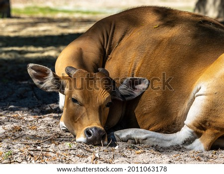 Banteng, Bos javanicus or Red Bull. It is a type of wild cattle But there are key characteristics that are different from cattle and bison: a white band bottom in both males and females. Stockfoto ©