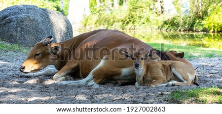 Banteng mother with child, Bos javanicus or Red Bull is a type of wild cattle But there are key characteristics that are different from cattle and bison: A white band bottom in both males and females Stockfoto ©