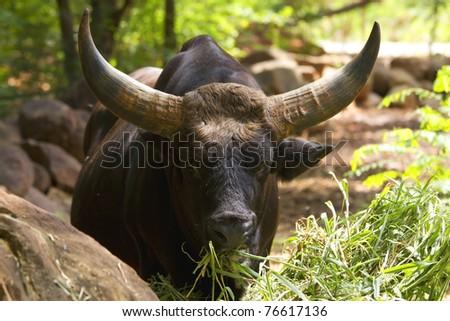 Banteng or Red Bull