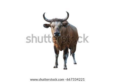 Banteng or Red Bull isolated on white background