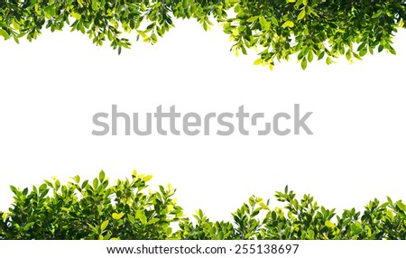 banyan green leaves isolated on white background #255138697