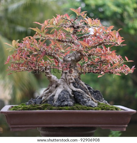 Banyan or ficus bonsai tree
