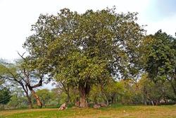 Banyan, or Pippal tree in Rajghat park, New Delhi