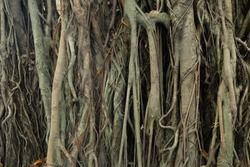 banyan tree roots.strangler fig banyan tree roots in a close-up abstract monochromatic black and white textured background