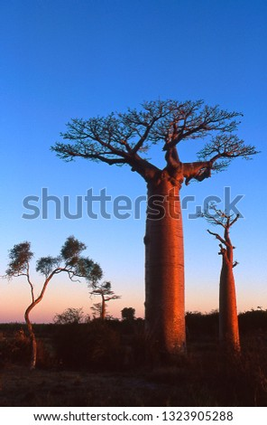 Baobab endemic of Madagascar