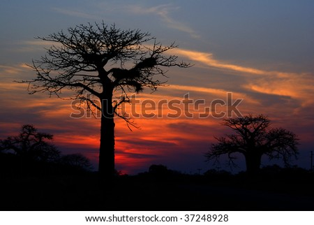 Baobab silhouette in Kruger Park, South Africa