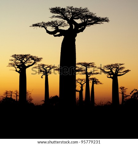 baobab sunset silhouette - stock photo