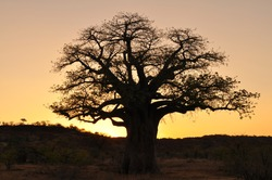 baobab tree against sunset, Mapungubwe national park,south africa