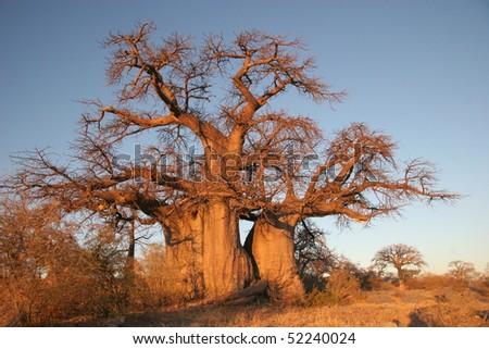 Baobab tree in Botswana, Southern Africa