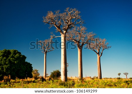 Baobab tree in Madagascar