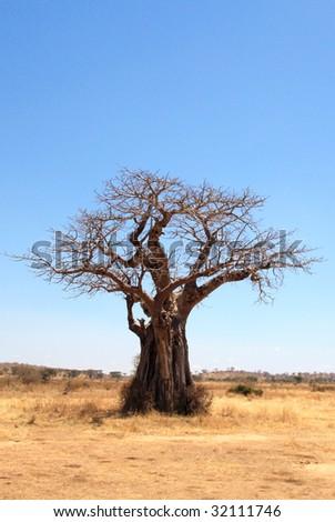 baobab tree in savannah