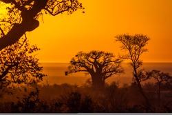Baobab tree in sunrise landscape in Kruger National park, South Africa ; Specie Adansonia digitata family of Malvaceae