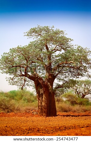 Baobab tree on the red earth - Shutterstock ID 254743477