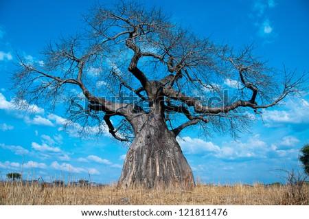 Baobab Tree, Ruaha National Park, Tanzania.