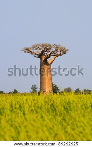 Baobab tree single over plain blue sky