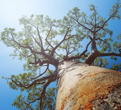 Baobab tree with green leaves on a blue clear sky background. Madagascar