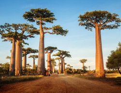 Baobab trees along the rural road at sunny day