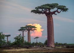 Baobab trees at sunset. Madagascar