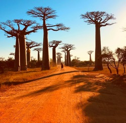 Baobab trees Avenue Madagascar Africa.  Spectacular red dirt road to Baobab Alley with majestic huge trees.  Unique endemic African tree iconic baobab Adansonia grandidieri. Sundown in Morondava.