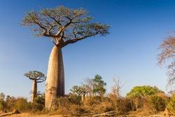 Baobab trees from Madagascar