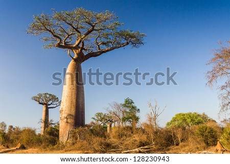Baobab trees from Madagascar - stock photo
