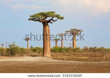 Baobab trees in Madagascar area
