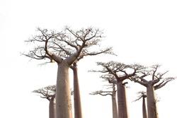 Baobab trees isolated on white background