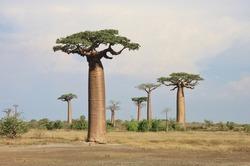 Baobabs. Avenue of the Baobabs, Morondava, Madagascar