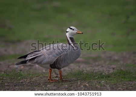 Bar-headed goose (Anser indicus) at Bhigwan, outskirts of Pune, Maharashtra, India