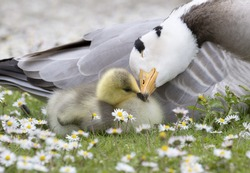 Bar-headed goose nuzzling young Chick with shallow depth of field among daisy flowers.